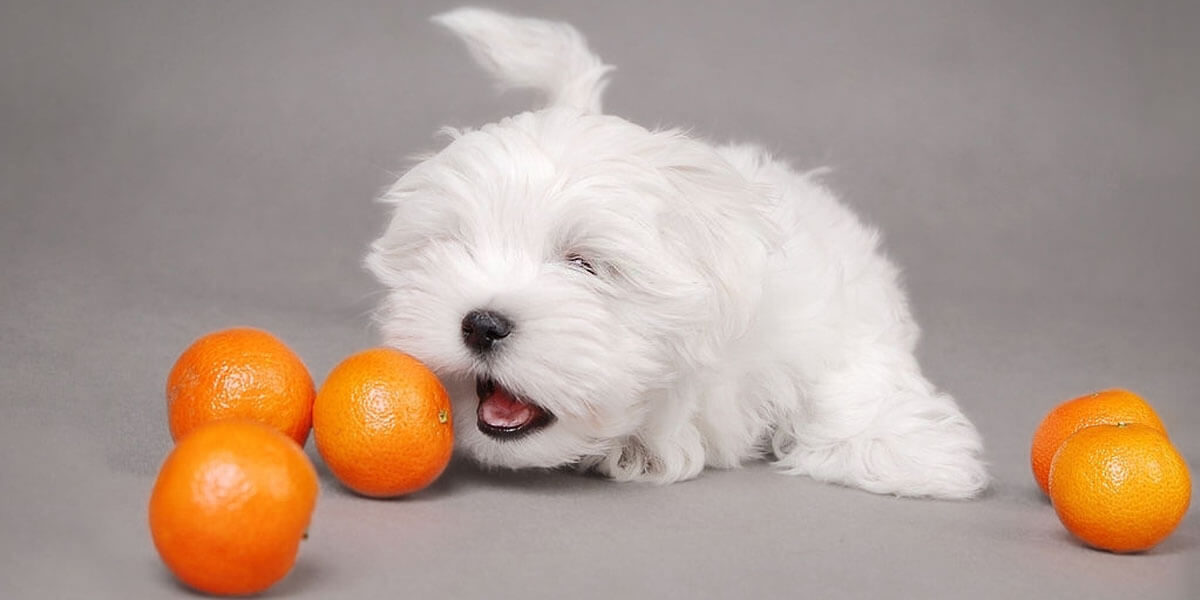 Are Oranges Good For Dogs