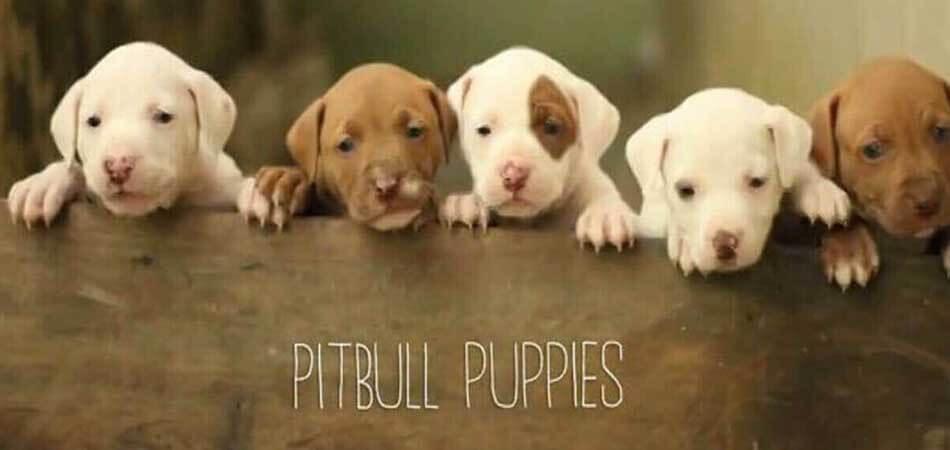 best dog food for Pitbulls