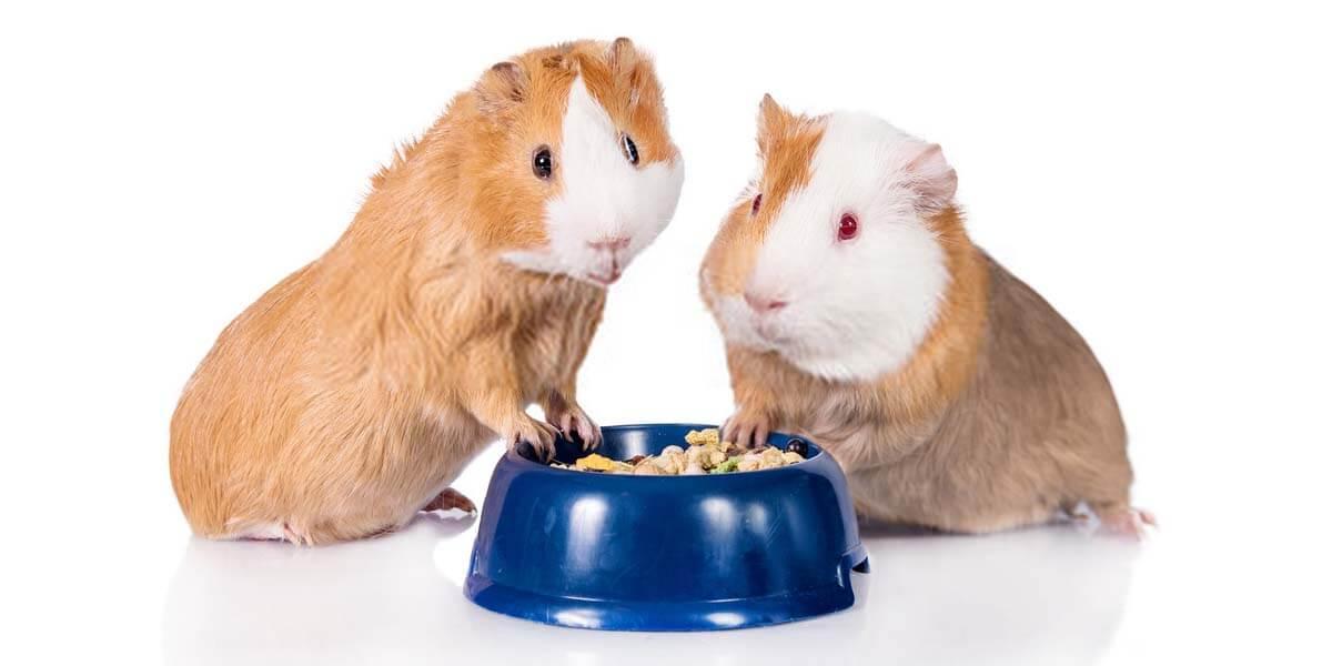 best guinea pig food