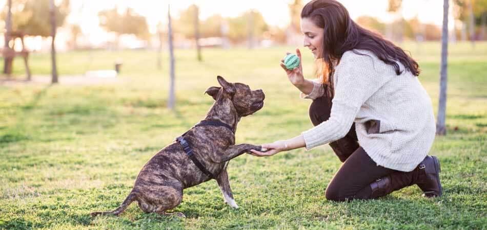 training a pitbull pup, pitbull training tips