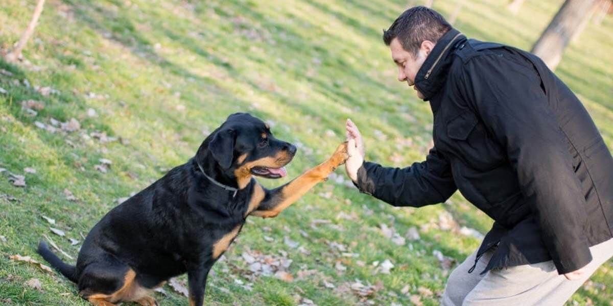 How To Train A Rottweiler An Easy To Follow Guide